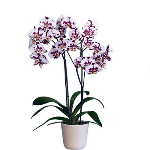 Купить на заказ Заказать Орхидея микс. с доставкой по Павлодару  с доставкой в Павлодаре